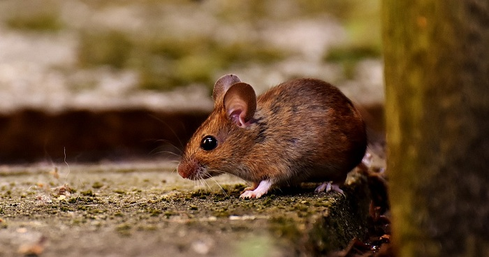 ratones en la casa