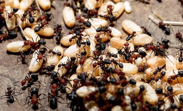 consecuencias de soñar con hormigas