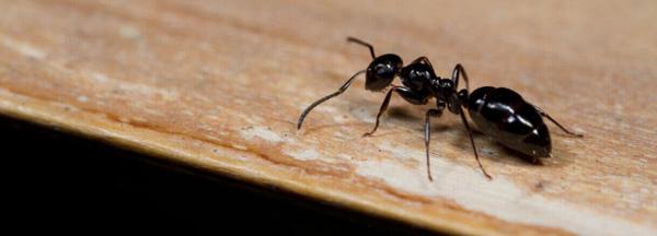 sueños con hormigas